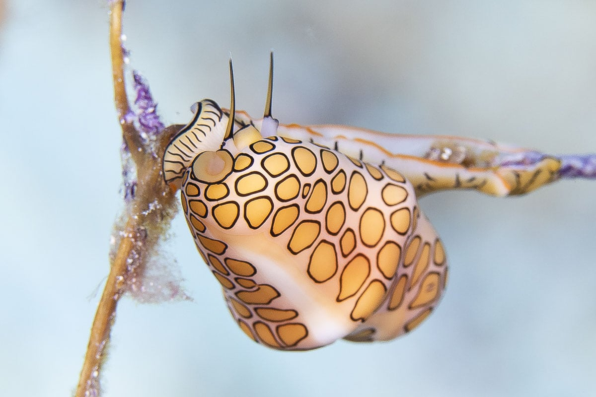 Flamingo tongue snail  -----      © Ralph Paprzycki