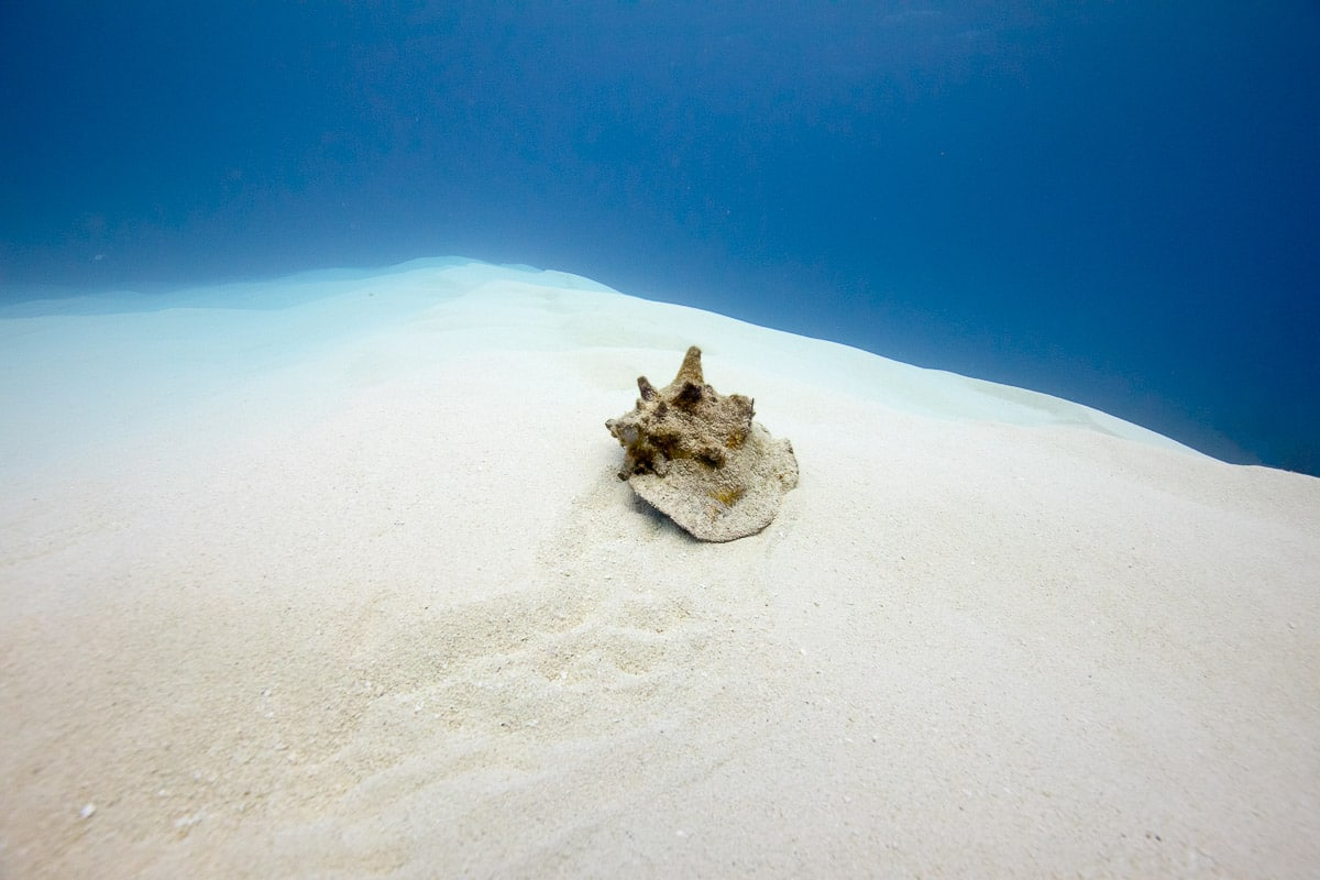 Queen conch  -----      © Ralph Paprzycki
