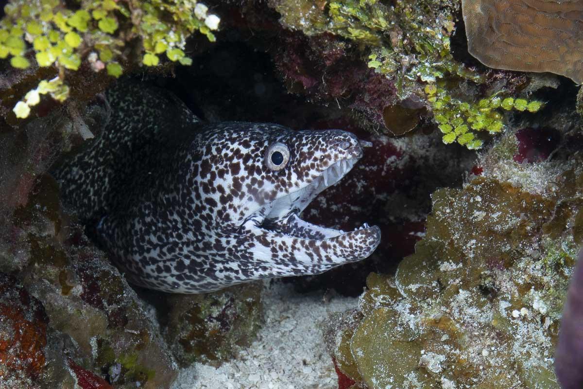 Spotted moray eel  -----      © Ralph Paprzycki