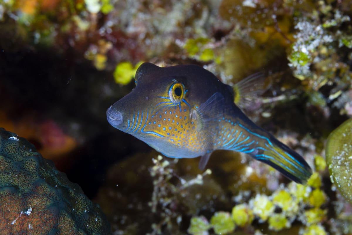 Caribbean sharpnose puffer  -----      © Ralph Paprzycki
