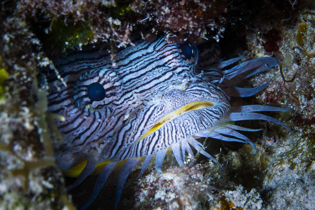 Splendid toadfish  -----      © Ralph Paprzycki