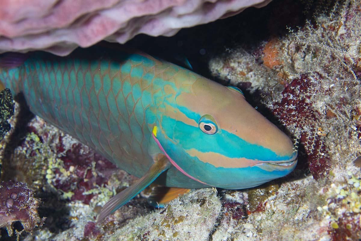 Stoplight parrotfish  -----      © Ralph Paprzycki