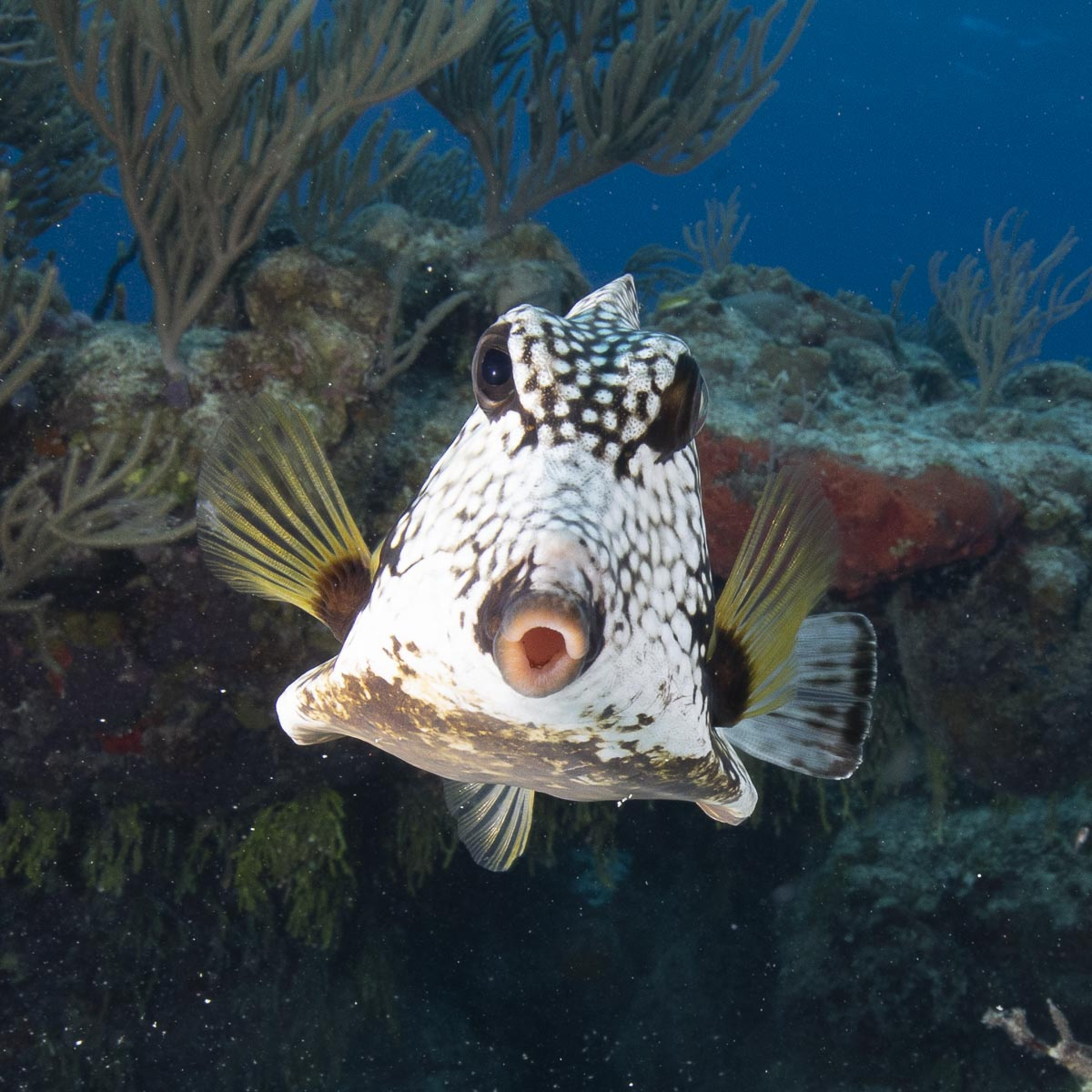 Smooth trunkfish  -----      © Ralph Paprzycki