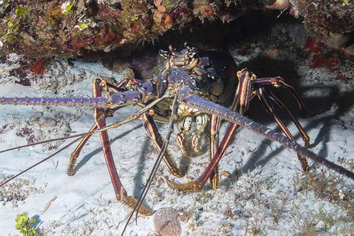 Spiny lobster  -----      © Ralph Paprzycki
