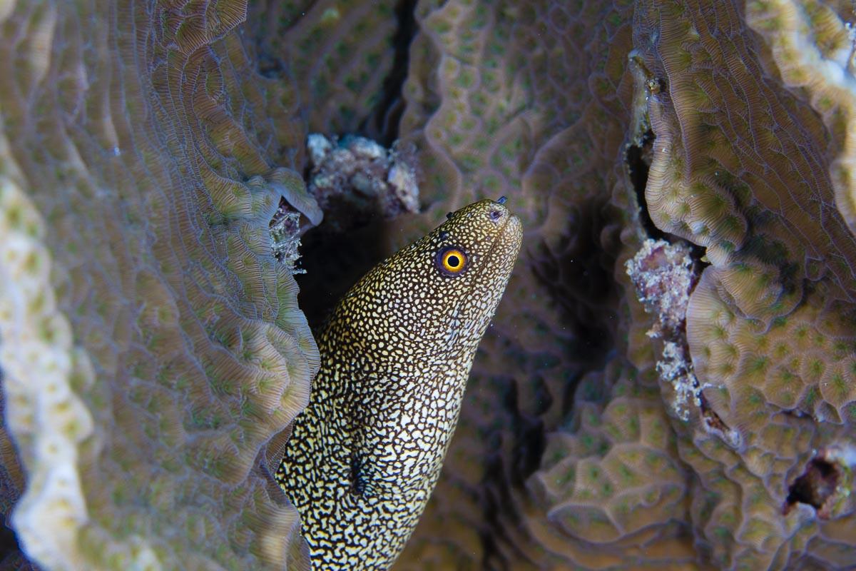 Juvenile spotted moray eel  -----      © Ralph Paprzycki