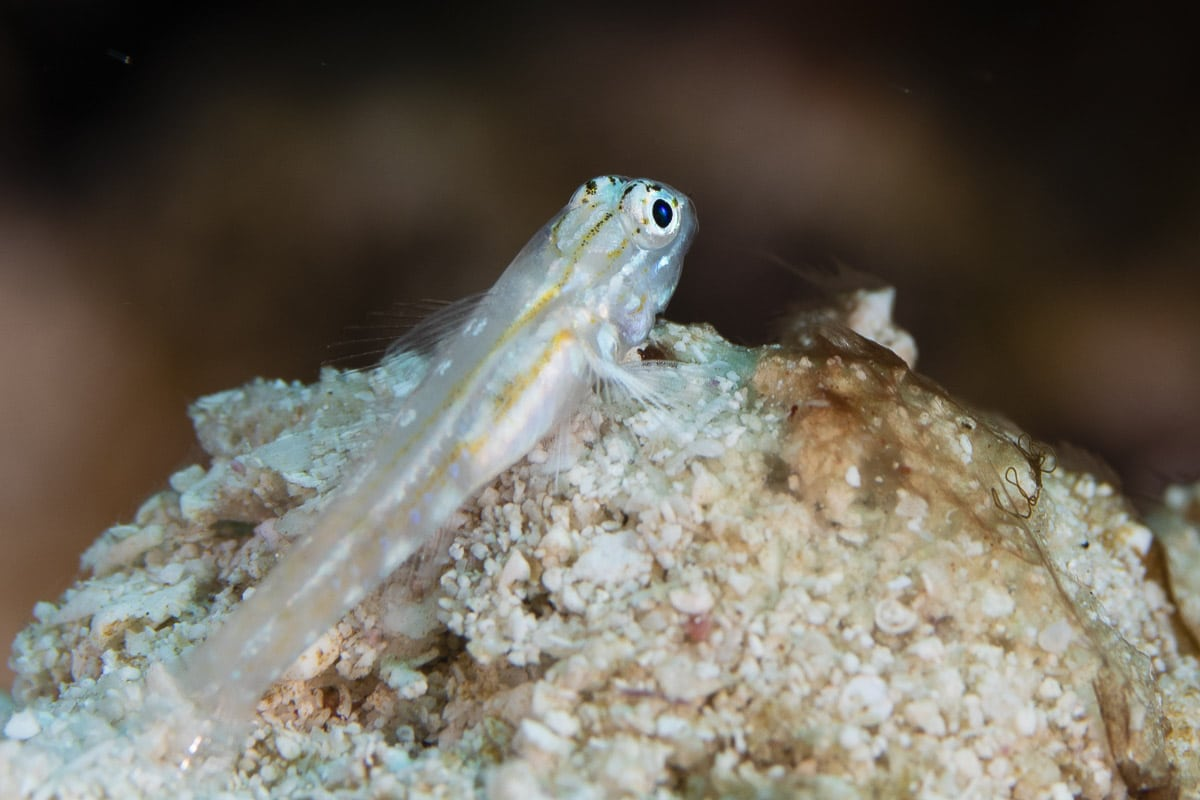 Patch-reef goby  -----      © Ralph Paprzycki