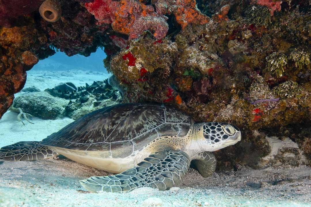 Green turtle  -----      © Ralph Paprzycki