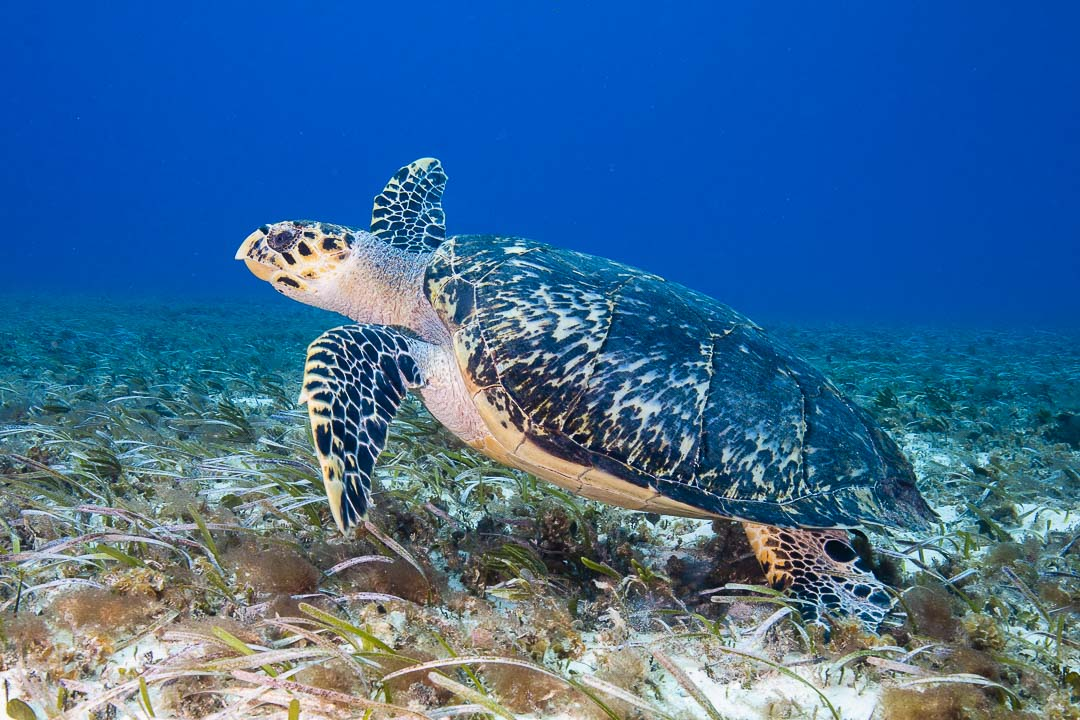 Hawksbill turtle  -----      © Ralph Paprzycki